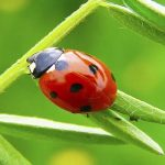 Spiritual Meaning of a Ladybug